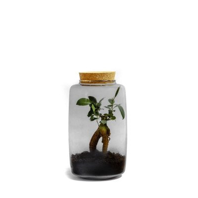 Growing Concepts Juno - Ficus Ginseng 28cm / 17cm / Ficus Ginseng