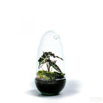 Growing Concepts Egg Medium - Alocasia 25cm / 12cm / Alocasia