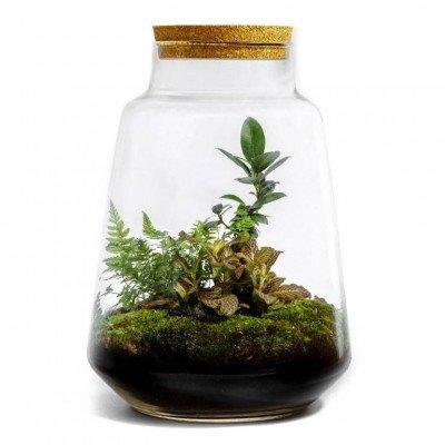Growing Concepts Faunus - Ficus Ginseng 35cm / 26cm / Ficus Ginseng