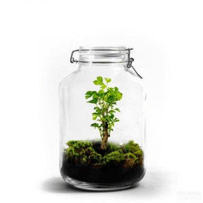 Growing Concepts Jar Large - Polyscias 30cm / 18cm / Polyscias
