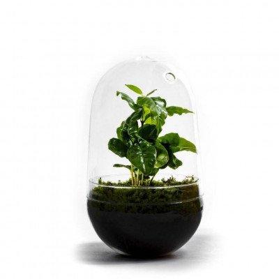 Growing Concepts Egg Large - Coffea Arabica 30cm / 17cm / Coffea Arabica