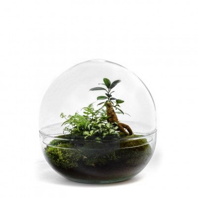 Growing Concepts Biodome - Ficus Ginseng 30cm / 30cm / Ficus Ginseng