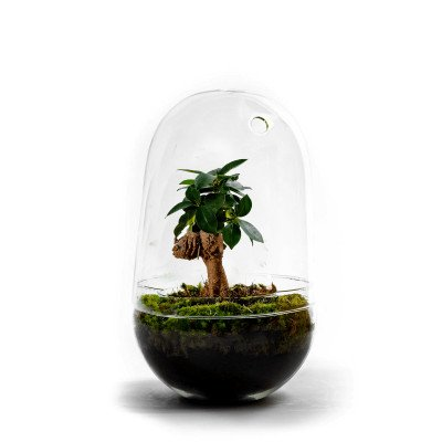 Growing Concepts Egg Large - Ficus Ginseng 30cm / 17cm / Ficus Ginseng