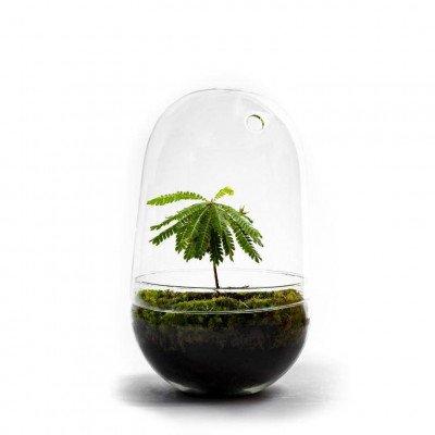 Growing Concepts Egg Large - Biophytum sensitivum 30cm / 17cm / Biophytum