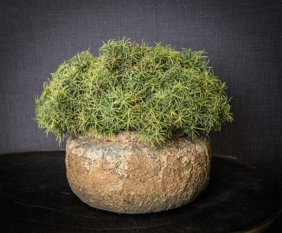 Firawonen.nl PTMD leaves plant groen spanish moss struik
