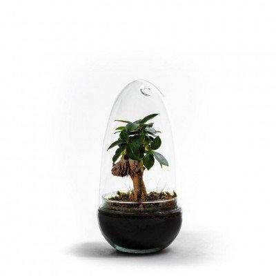 Growing Concepts Egg Medium - Ficus ginseng 25cm / 12cm / Ficus Ginseng