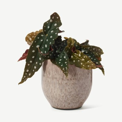 MADE.COM Bloombox Club Polkadot Begonia met pot