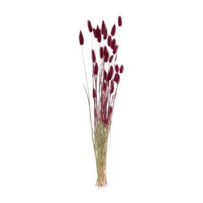 Xenos Lagurus - paars - 70 cm