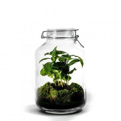 Growing Concepts Jar Large - Coffea arabica 30cm / 17cm / Coffea Arabica