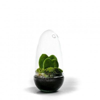 Growing Concepts Egg Medium - Hoya Kerrii 25cm / 12cm / Hoya Kerrii