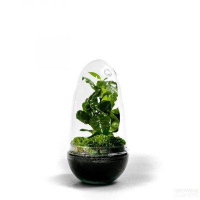 Growing Concepts Egg Medium - Coffea Arabica 25cm / 12cm / Coffea Arabica