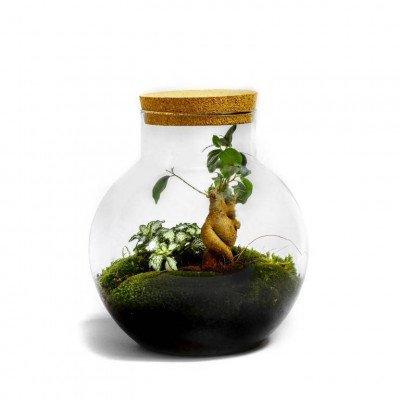 Growing Concepts Bolder - Ficus ginseng 30cm / 18cm / Glass