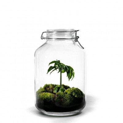 Growing Concepts Jar Large - Castanospermum 30cm / 17cm / Castanospermum