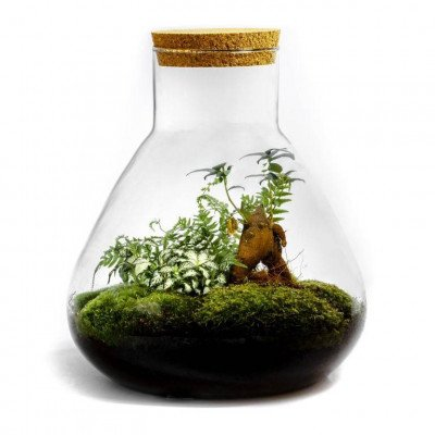 Growing Concepts Erlenmeyer Large - Ficus Ginseng 34cm / 28cm / Ficus Ginseng