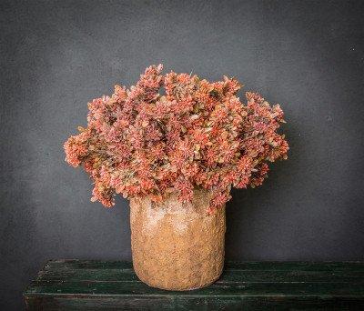 Firawonen.nl PTMD berry plant oranje bessentak met bladeren